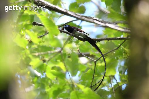 나방을 사냥한 긴꼬리딱새 - gettyimageskorea