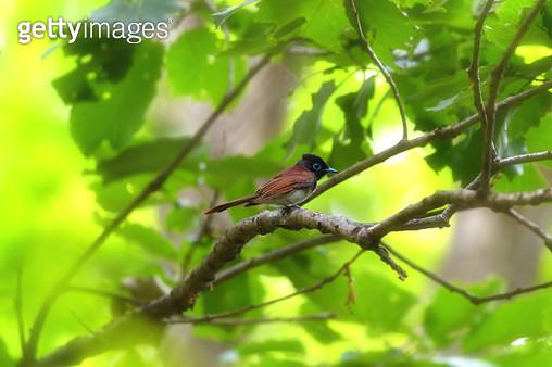 긴꼬리딱새 암컷 - gettyimageskorea