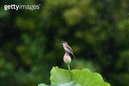 비오는날 개개비의 노래 - gettyimageskorea