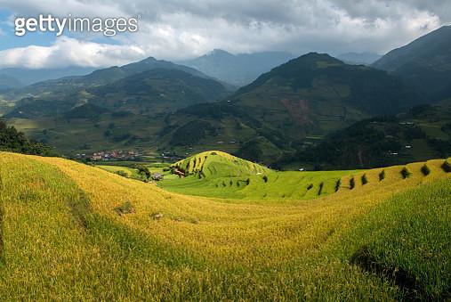 Golden rice terrace - gettyimageskorea