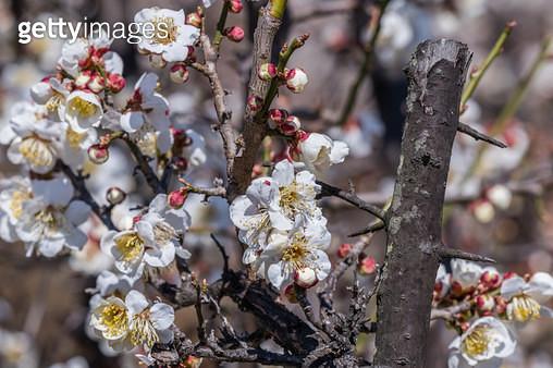 매실나무 매화꽃 - gettyimageskorea