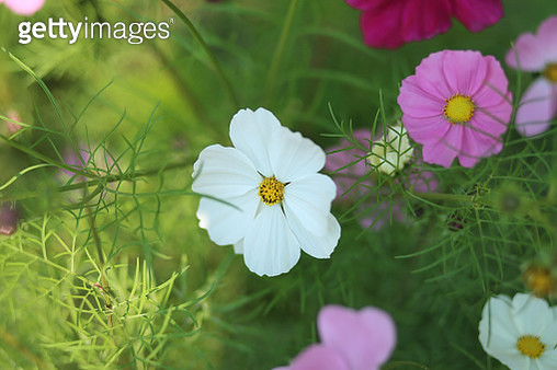 Close up of cosmos flower - gettyimageskorea