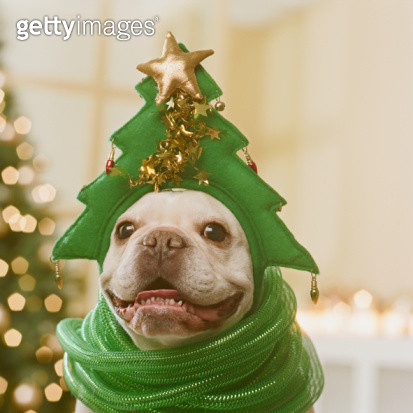 French Bulldog wearing hat and green ribbon in front of Christmas tree, close-up - gettyimageskorea