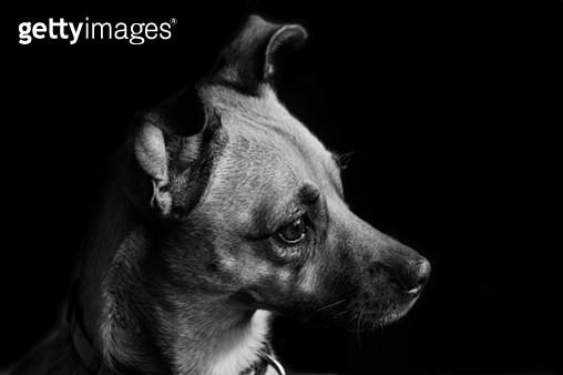 Close-Up Of Dog Against Black Background - gettyimageskorea
