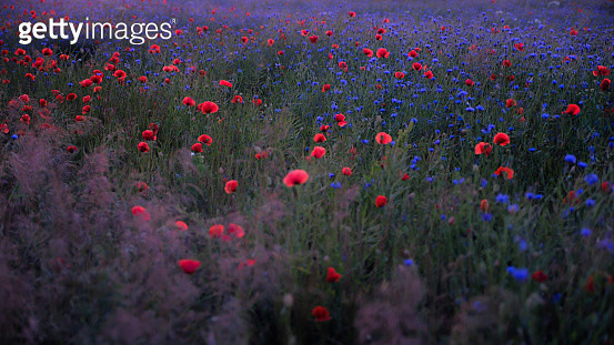 Red Poppy Flowers In Field - gettyimageskorea