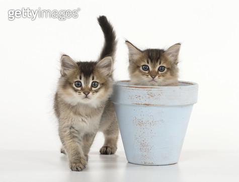 Cat Tiffali 7 week old Kittens in flower pots  (Tiffali = x Somali & Tiffanie) - gettyimageskorea
