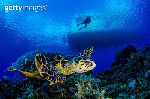 Person Scuba Diving In Sea With Turtle - gettyimageskorea