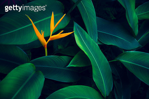 tropical leaves colorful flower on dark tropical foliage nature background dark green foliage nature - gettyimageskorea
