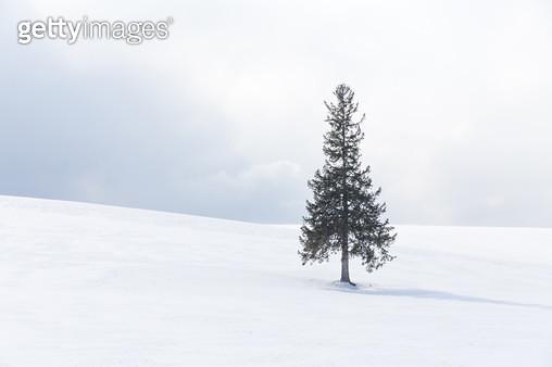 크리스마스 트리 나무 - gettyimageskorea