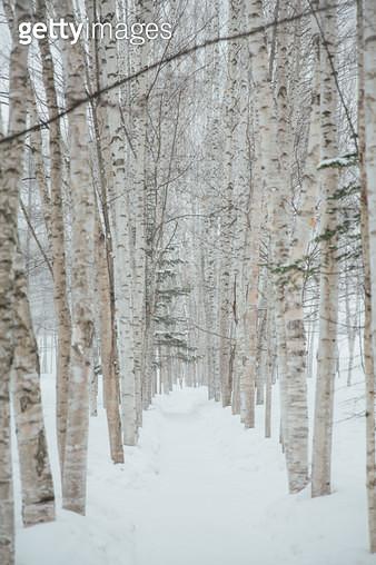 자작나무 - gettyimageskorea