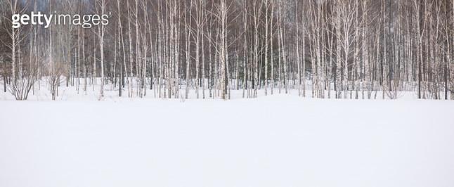 눈속에 자작나무 - gettyimageskorea