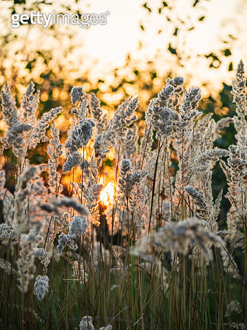 Sunset landscape on the meadow with sunlight through field grass. Sun flare bokeh on background - gettyimageskorea