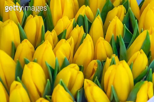 Close-Up of Yellow Tulips, Nuremberg City, Germany - gettyimageskorea