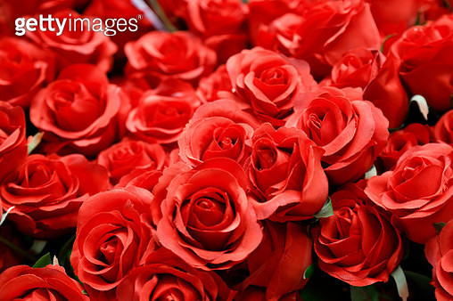 Rose bed - gettyimageskorea