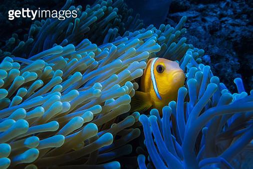 clown fish - gettyimageskorea