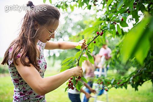 Teenage girl picking up cherries in orchard - gettyimageskorea