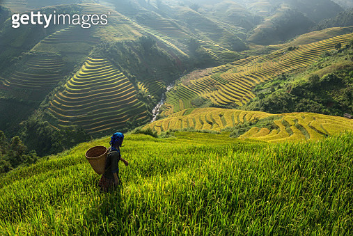 Farmer working on a rice paddy. - gettyimageskorea