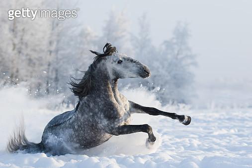 Grey purebred Spanish horse sliding on ice - gettyimageskorea