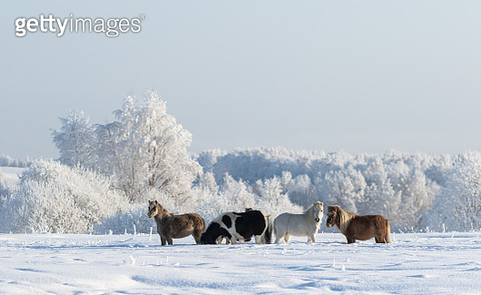Winter snowy landscape and four ponies - gettyimageskorea