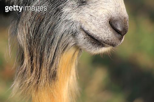 Close-up Of Goat Beard - gettyimageskorea