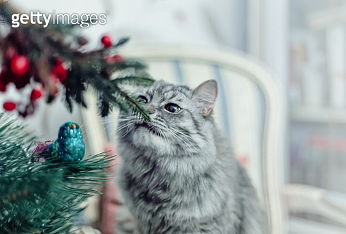 Cute grey cat sitting on the chair near Christmas tree - gettyimageskorea