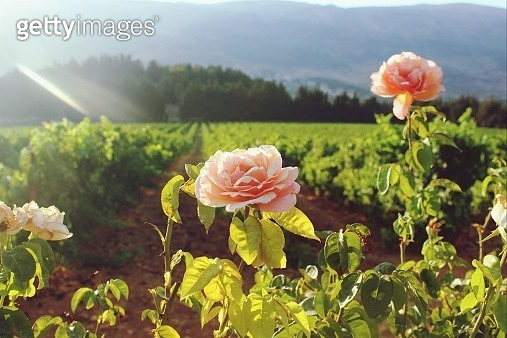 Close-up Of Pink Rose Flowers In Bloom - gettyimageskorea