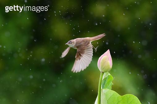 비오는날 연꽃과 개개비 - gettyimageskorea