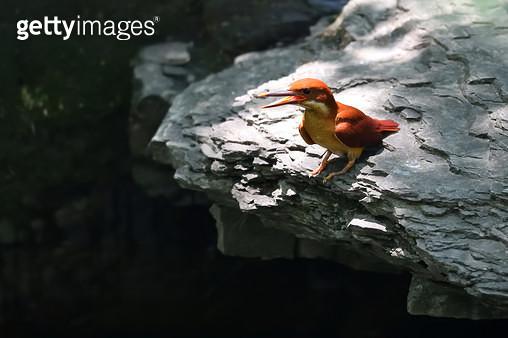 아기 호반새 - gettyimageskorea