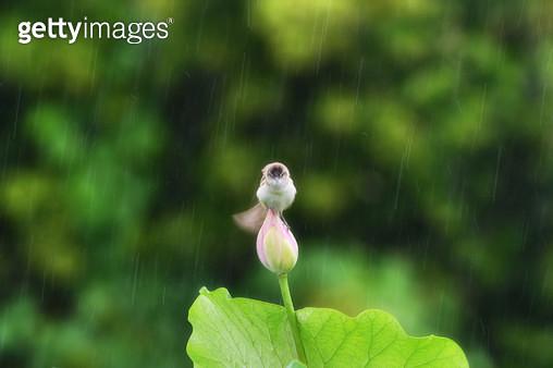 비오는날 물을 터는 개개비 - gettyimageskorea