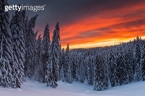 Rhodope Mountains, Bulgaria: January 2012 - Red sunrise over snowy pine forest - gettyimageskorea