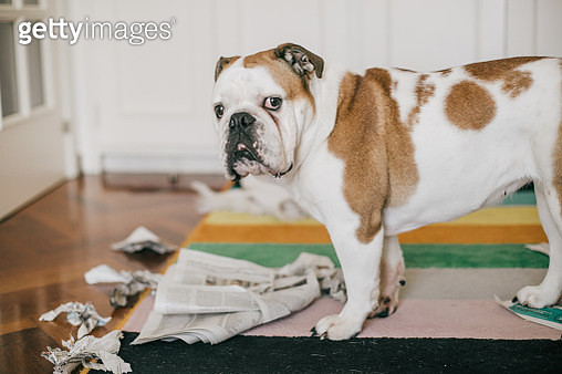 dog bite some newspaper while alone at home - gettyimageskorea