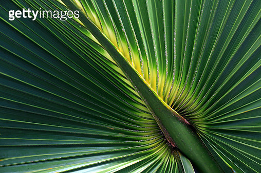 Close up of palm leaf showing natural fanned out patterns - gettyimageskorea