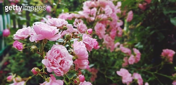 Close-Up Of Pink Roses - gettyimageskorea