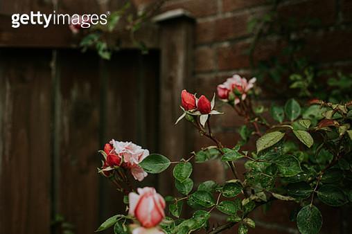 Pink Roses in a Garden - gettyimageskorea