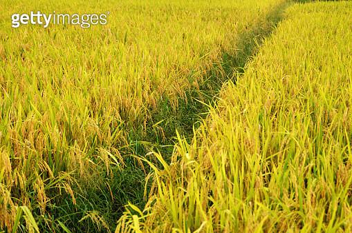 The Rice Field - gettyimageskorea
