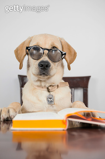 Funny Labrador with glasses reading book - gettyimageskorea