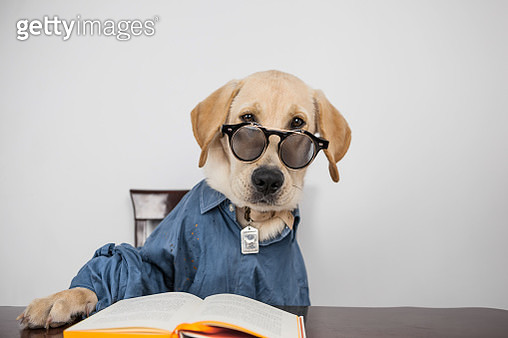 Portrait of dog sitting at table dressed in shirt - gettyimageskorea