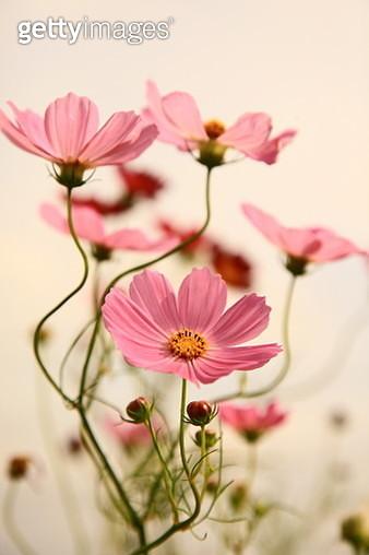 Cosmos bipinnatusin bloom - gettyimageskorea