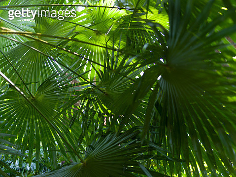 Lush foliage of palm trees - gettyimageskorea