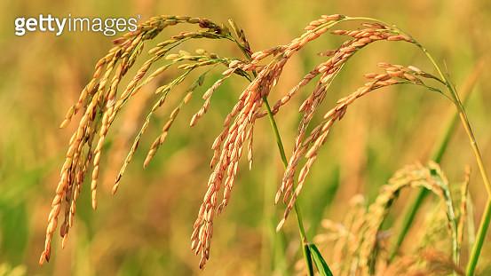 Paddy rice field - gettyimageskorea