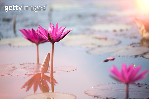 This beautiful water lily or lotus flower is complemented by the rich colors of the deep blue water surface. Saturated colors and vibrant detail make this an almost surreal image - gettyimageskorea