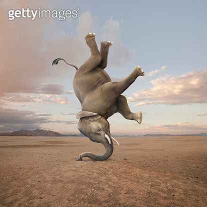"An elephant shows off his skill and talent as he performs a headstand...or is that a ""trunk"" stand? - gettyimageskorea"