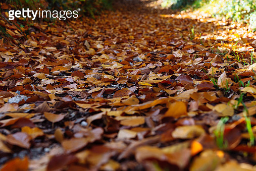 Close-Up Of Fallen Maple Leaves On Field - gettyimageskorea