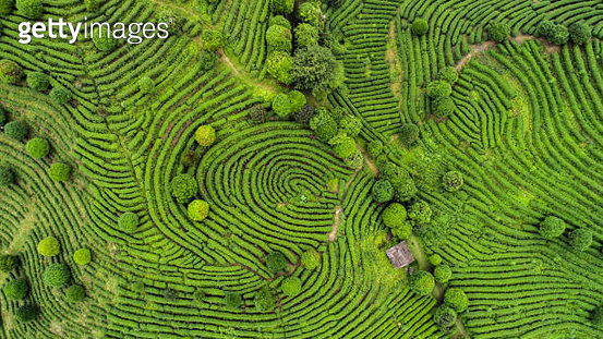 Aerial view of Tea fields - gettyimageskorea