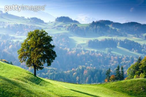 Switzerland, Bernese Oberland, tree on hillside near Thun - gettyimageskorea
