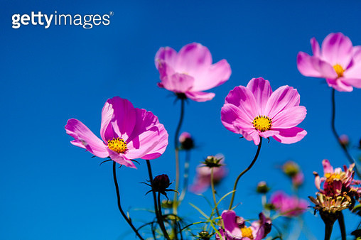 Close-Up Of Pink Cosmos Flowers Against Blue Sky - gettyimageskorea