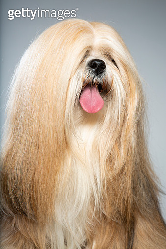 Lhasa Apso Studio Portrait with tongue out - gettyimageskorea