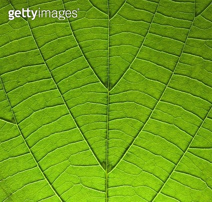 A close up of a fresh green leaf photographed in the studio with LED light behind it to reveal detail in the veins to give beautiful unusual colours, contrasts and patterns. The leaf has been photographed completely flat to give perfect focus at every poi - gettyimageskorea