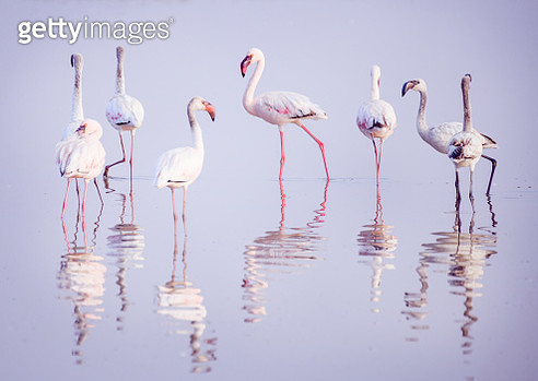 A small group of Greater and Lesser Flamingo in the water with reflections and ripples at Amboseli, Kenya. - gettyimageskorea