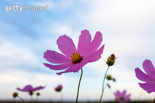 Cosmos flower against the sky - gettyimageskorea